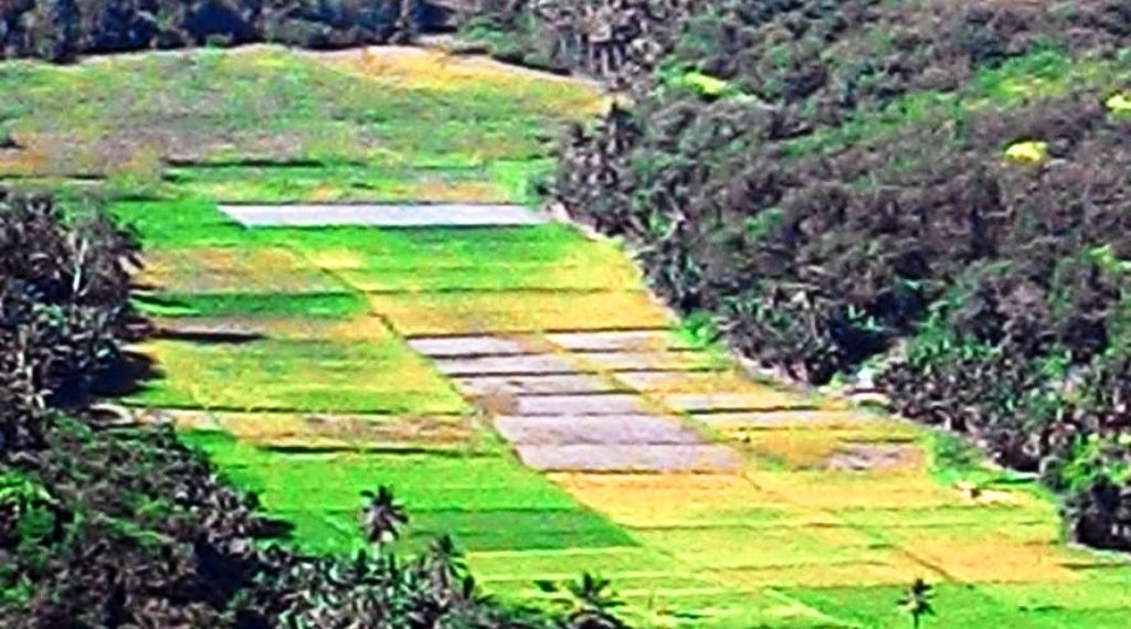 Sawah produktif warga Luwuk Desa Satar Punda Kecamatan Lamba Leda Kabupaten Manggarai Barat,NTT yang terancam digusur untuk pembangunan pabrik semen.Foto : Norbert Nomen/Mongabay Indonesia